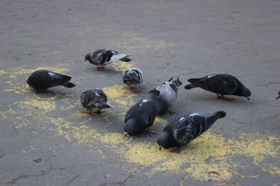 Традиционные голуби около Университета во Львове