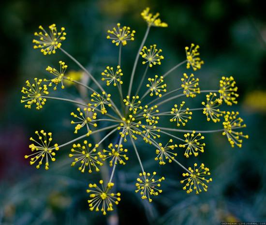 Цветок Укропа