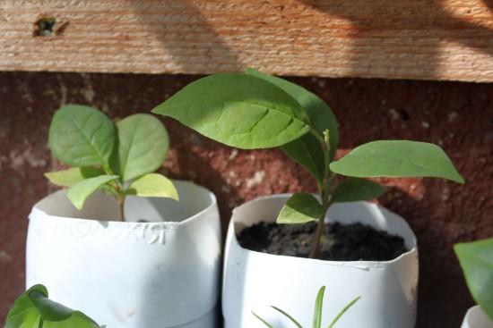 magnolia 001-001