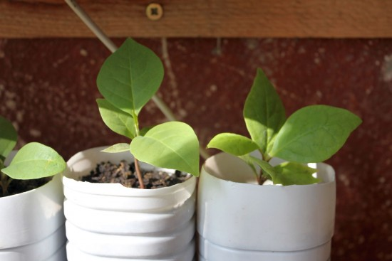 magnolia 003-002
