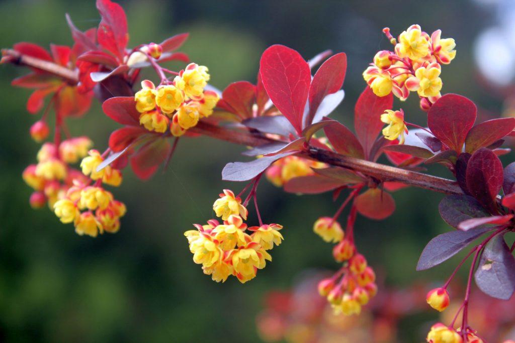 botsad_2017_05_14__rododendrony-110-009-